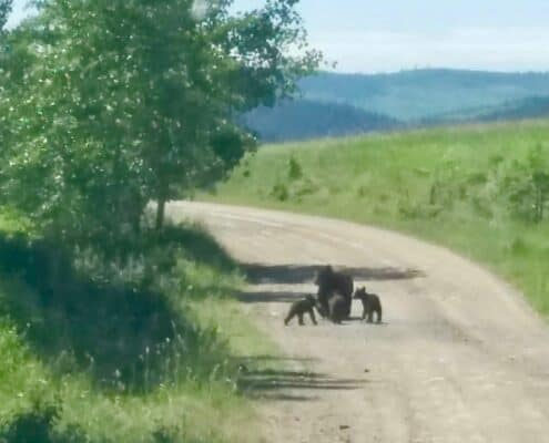 wildlife in cariboo country